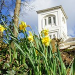 Daffodils by Avenham Tower