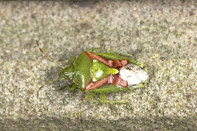 Juniper Shield Bug (Cyphostethus tristriatus)
