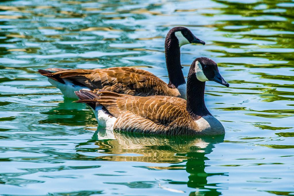 Canada Goose _GML5181