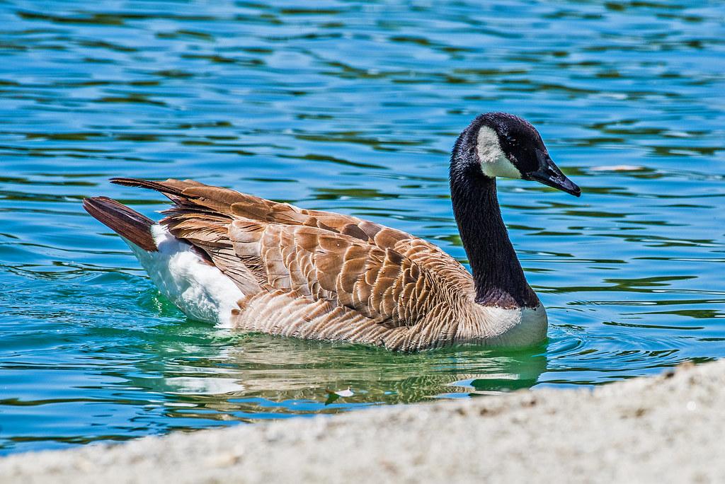 Canada Goose _GML5165