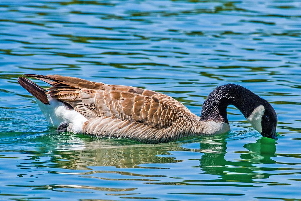 Canada Goose _GML5164