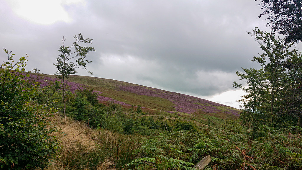 Pendle Heather from Churn Clough