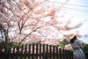美美的花旗木~像極了櫻花