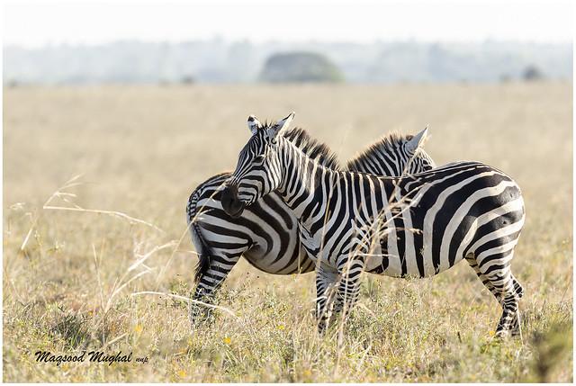 2K2A3442 _Zebras back to back