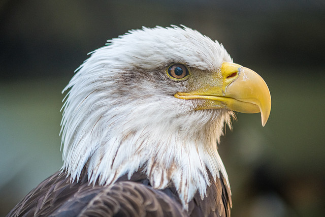 Bald eagle up close