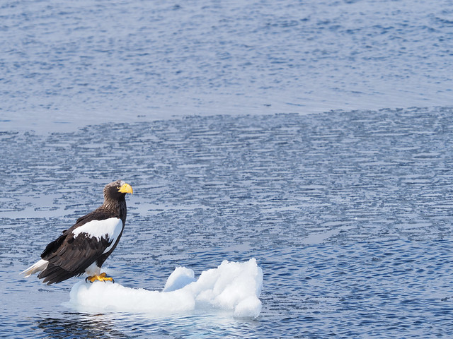 Sea eagle on the drift ice in the Rausu offing,Rausu town,Hokkaido 2021/03 No.1.