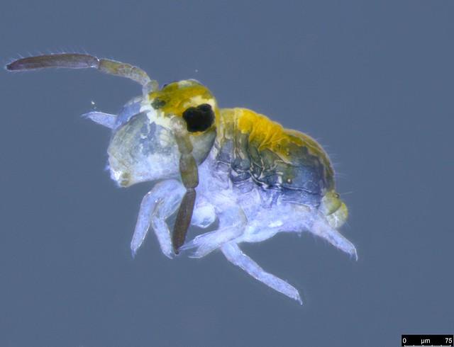 26 - Katiannidae sp.
