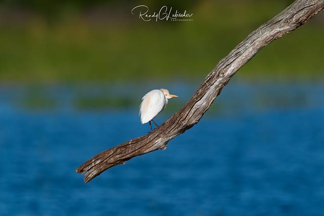 Cattle Egret | Bubulcus ibis | 2021 - 2