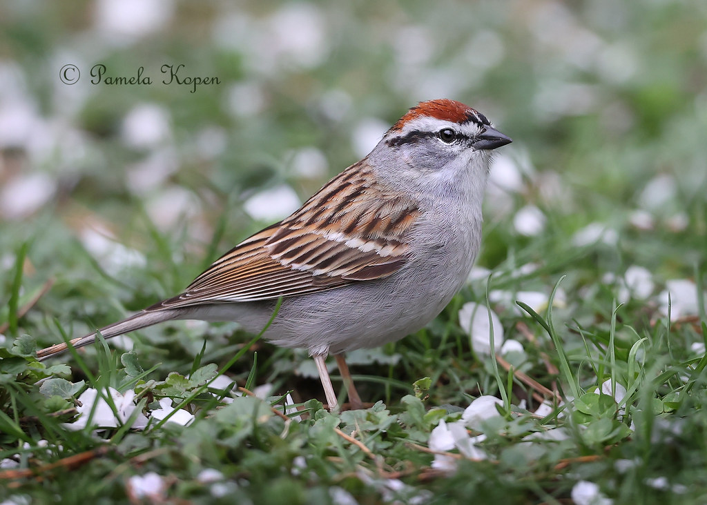 New to our backyard, but not uncommon - Chipping sparrow