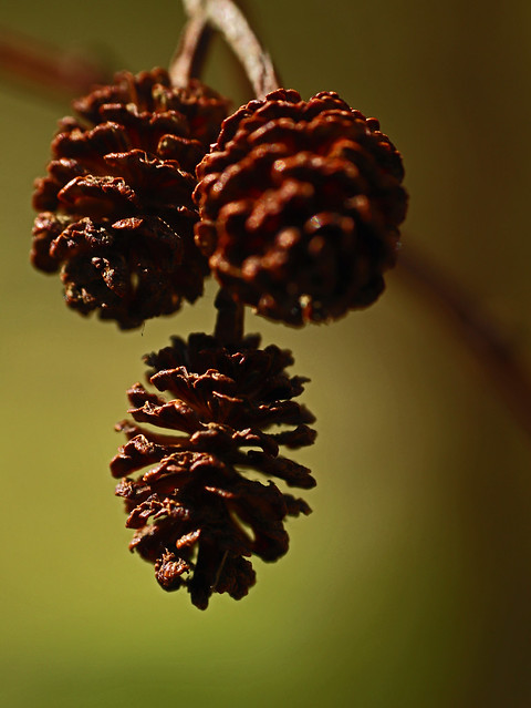 Miniature Pine Cones