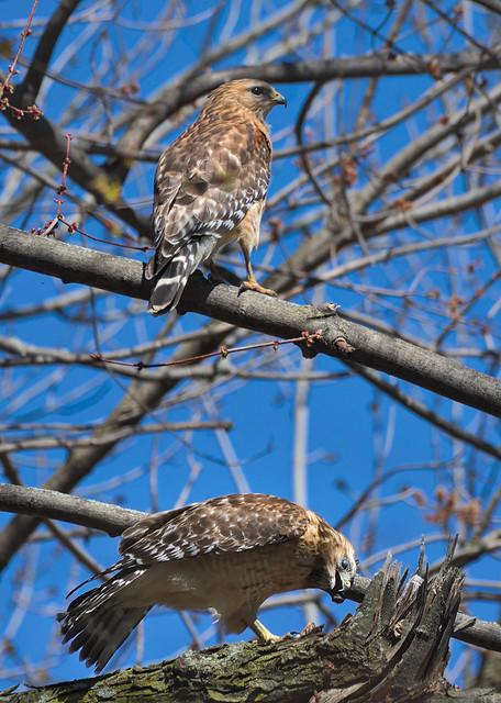 Buse à épaulettes  --- Red-shouldered hawk  ---  Busardo hombrorrojo