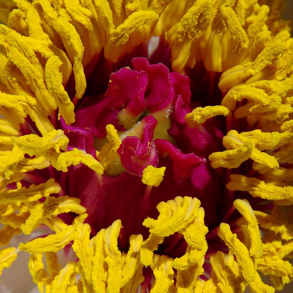 Inside peony flower.