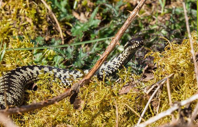 Adder on the move