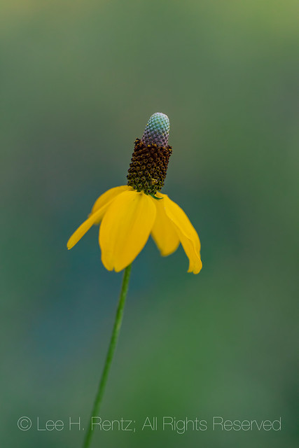 Mexican Hat Wildflower in Carlsbad Caverns National Park