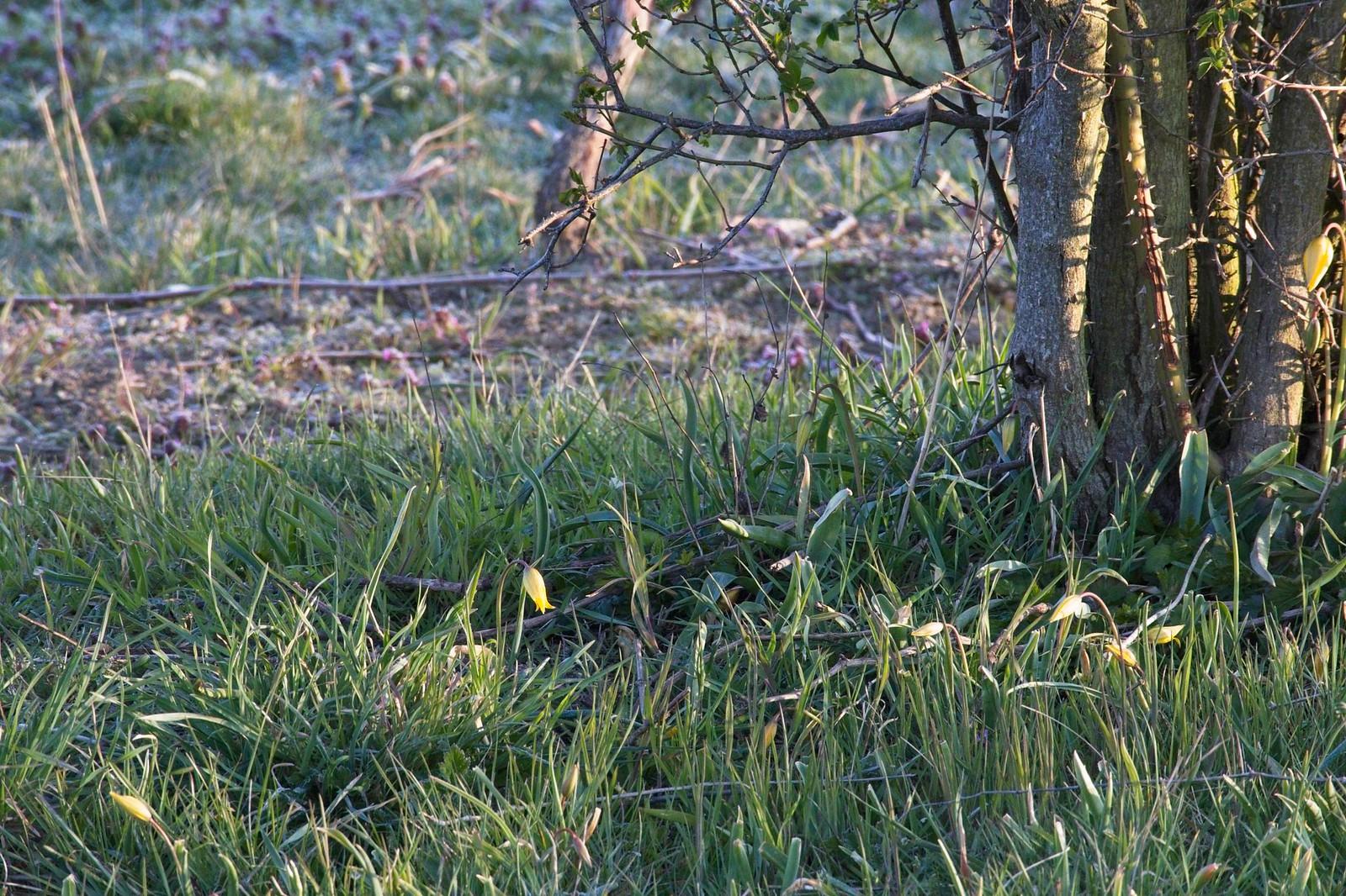 Wild-Tulpen in den Weinbergen von Gau-Odernheim
