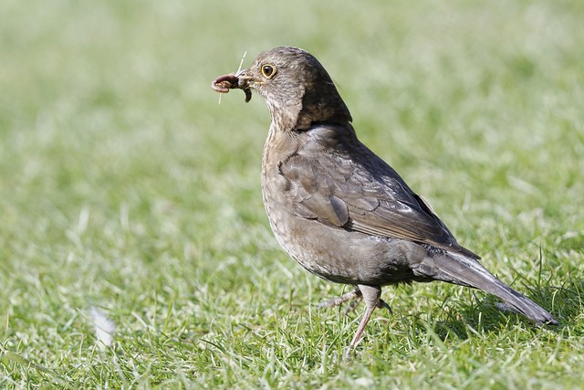 Female Blackbird with food