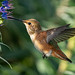Allen's Hummingbird (Selasphorus sasin)- Female