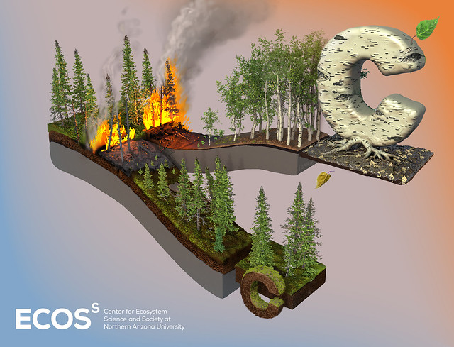 : A graphic illustrates that deciduous trees replacing burned spruce forests more than make up for carbon and nitrogen loss.