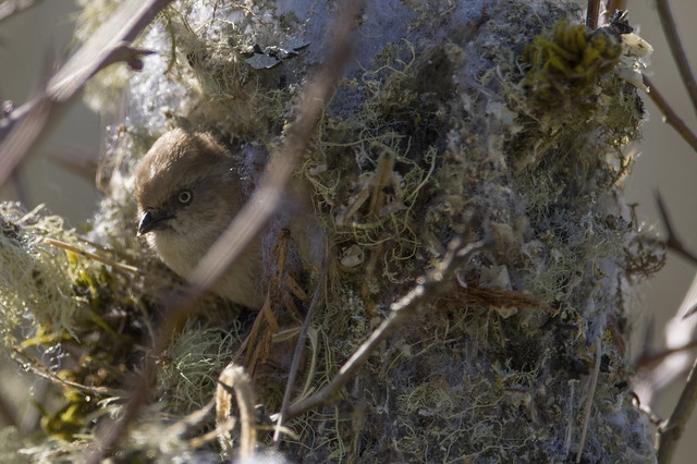 Another bushtit nest