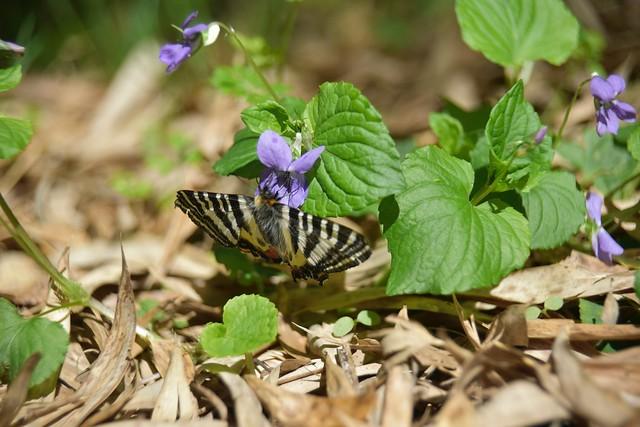 新緑と岐阜蝶