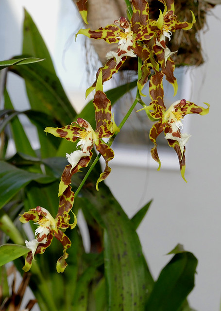 Oncidium hallii species orchid 3-21