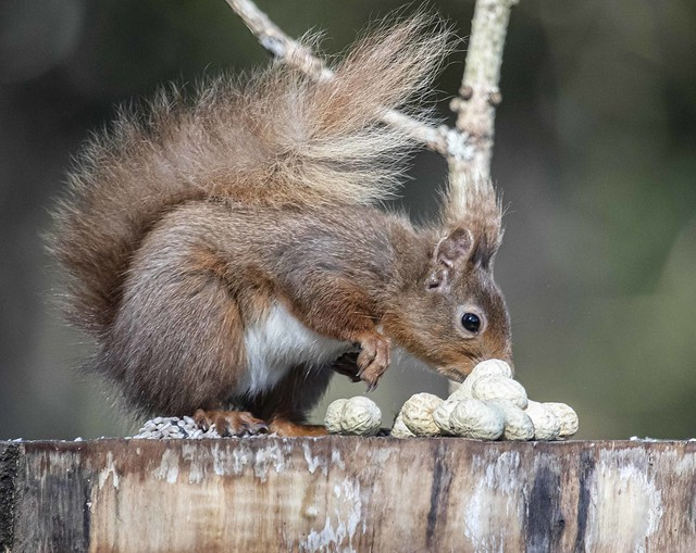 Ah which nut hmm Squirrel Cairny Woods Angus Scotland