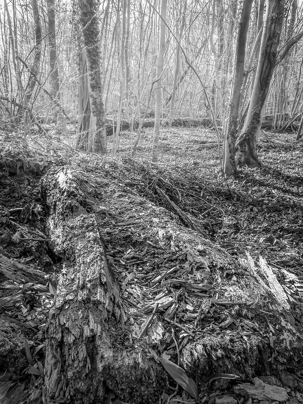 Pourriture et renaissance dans la forêt rhénane. (+ couleur) 51117483834_3cf0167292_c