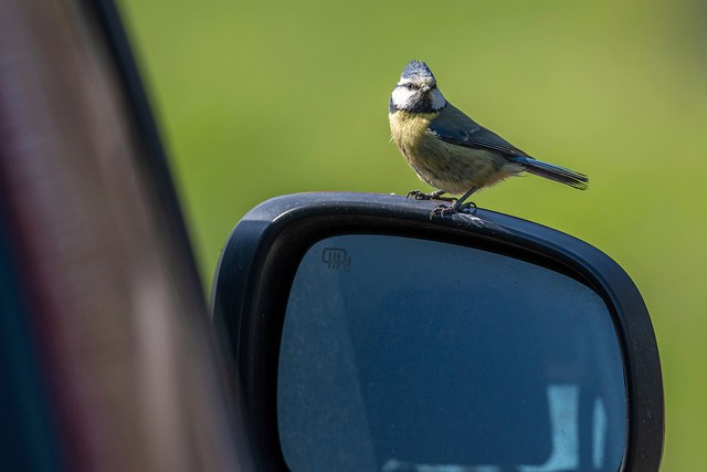 Blue tit and wing mirror!