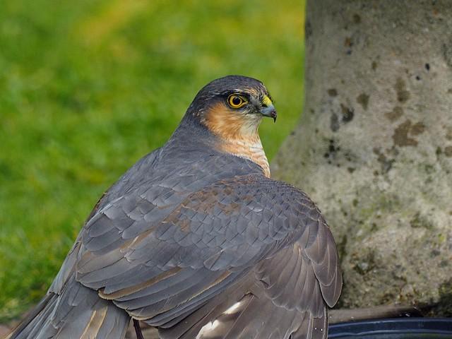 Male Sparrowhawk {Accipiter nisus)
