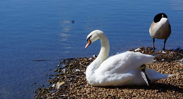 Swan and Friend