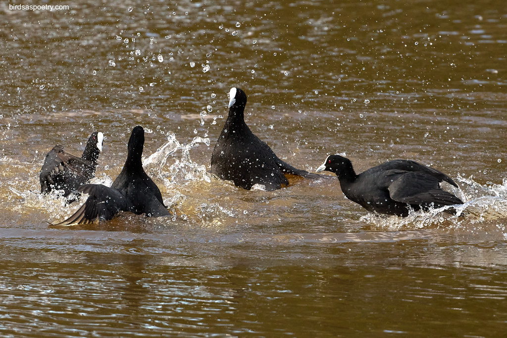 Eurasian Coot: Room for One More