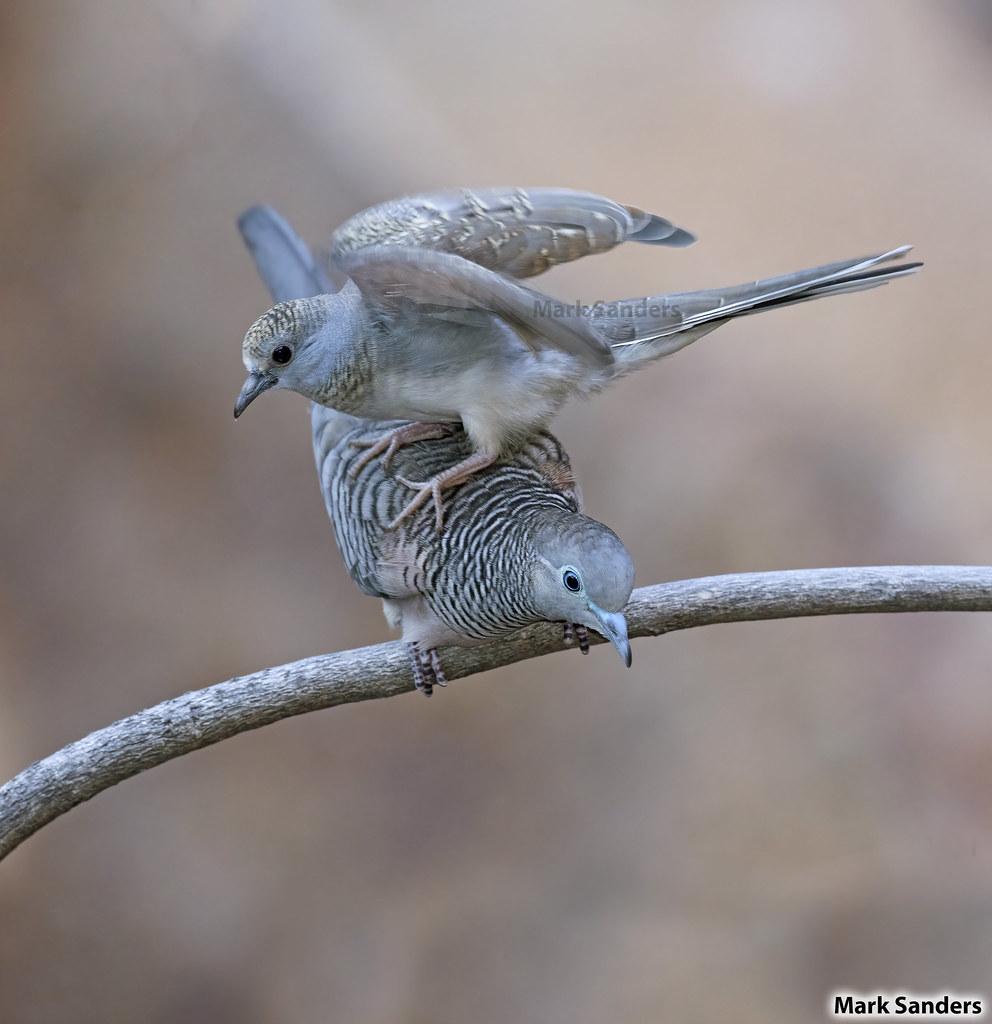Peaceful Dove (Geopelia placida) and Diamand Dove (Geopelia cuneata)