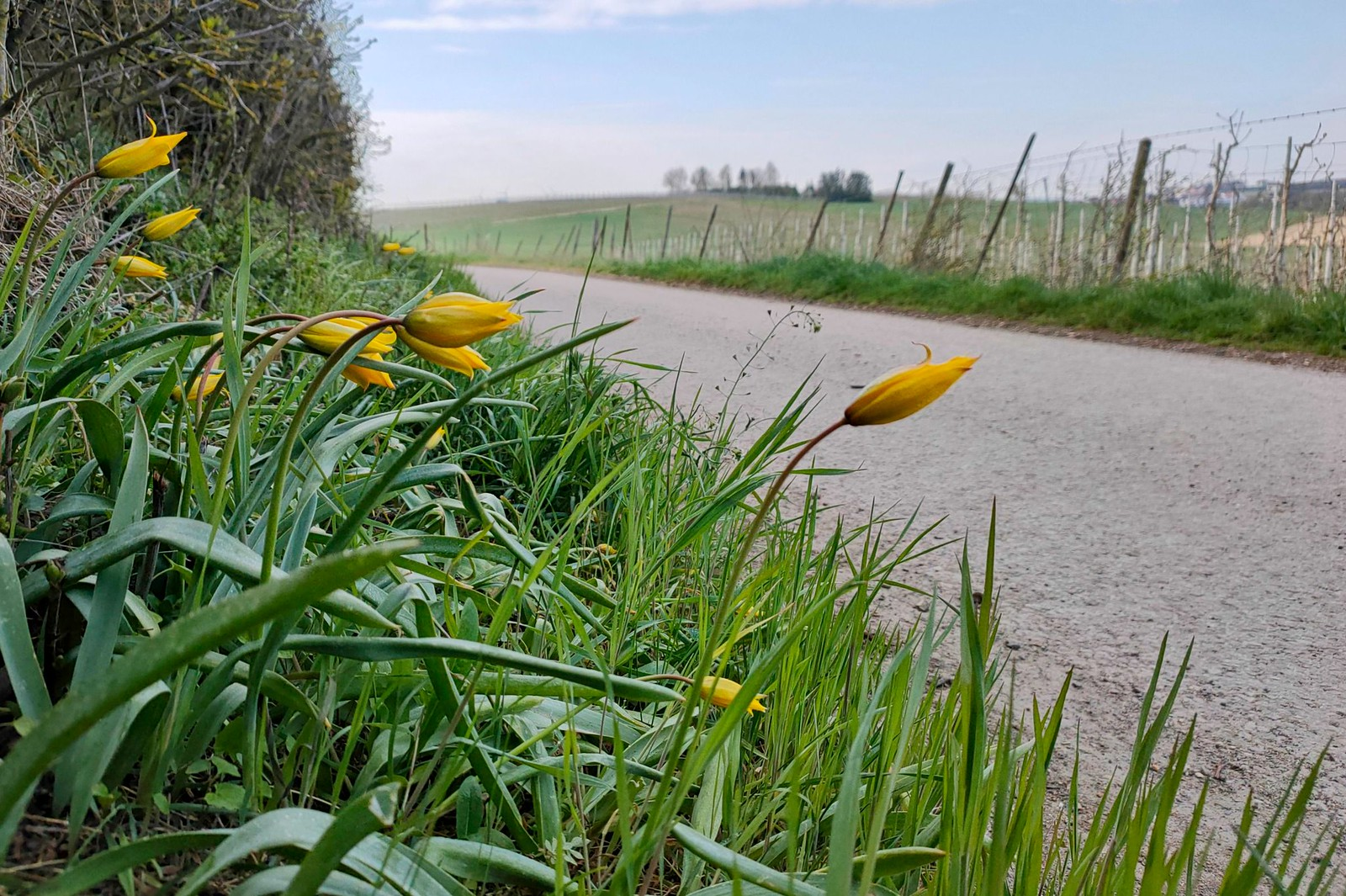 Wildtulpen am Wegesrand von Bechtolsheim nach Gau-Odernheim