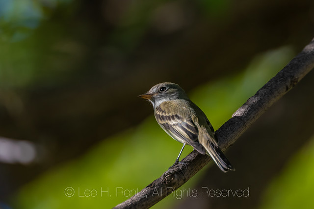 Least Flycatcher in Carlsbad Caverns National Park
