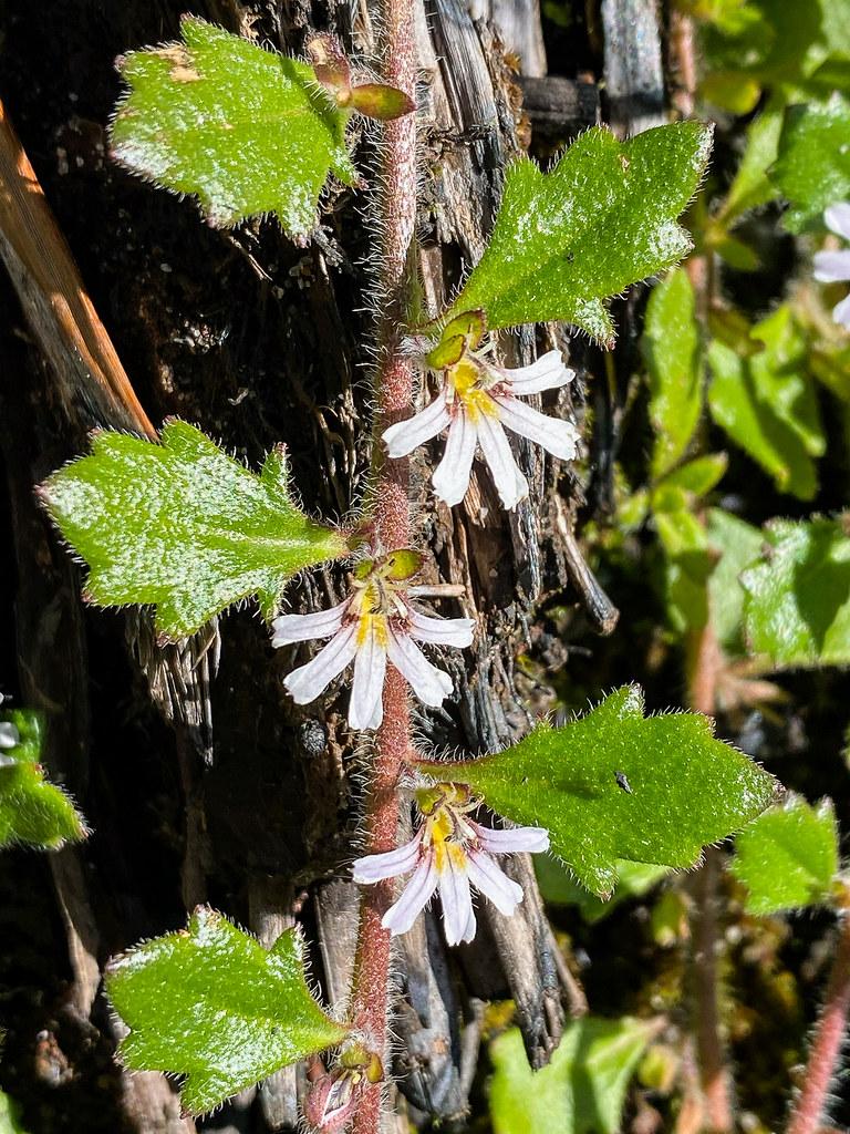 Alpine/Creeping Fan Flower (Scaevola hookeri)