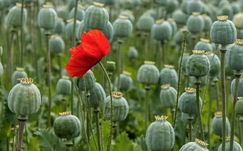 poppies_field