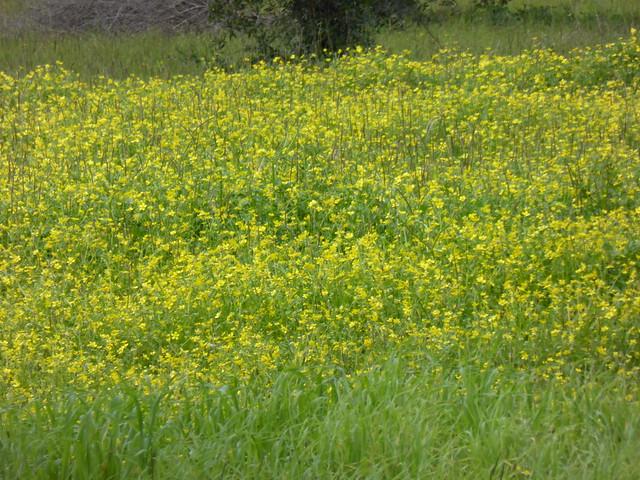 Yellow wildflowers!!  P1110449