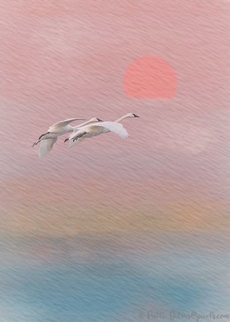 Trumpeter Swan Pair Fly into the Sunset on Watercolor Texture