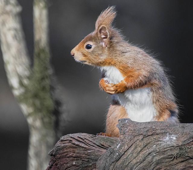 Nosy Squirrel Lintrathen Loch Angus Scotland