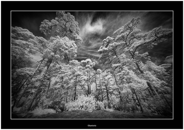 Canarian pine, infrared