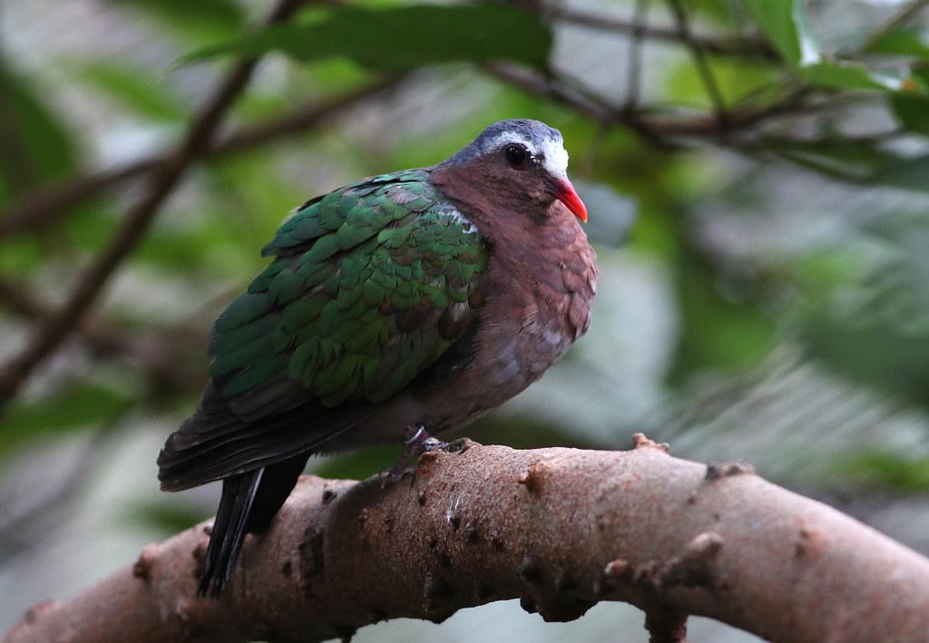 Common Emerald Dove, Hongkong Park Aviary, Hong Kong, China, Nov. 2016