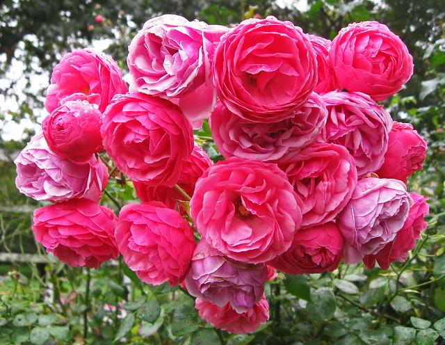 'Pomponella Fairy Tale' Rose