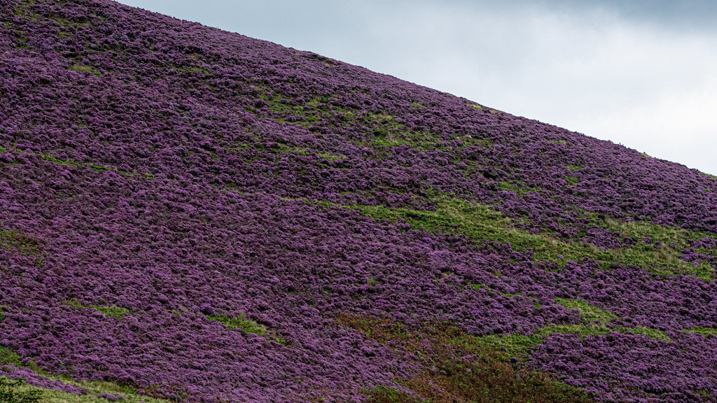 Pendle Hill heather