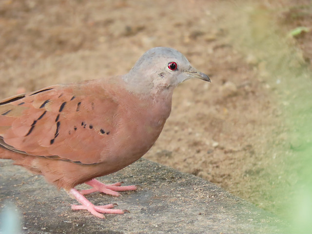 Rolinha-roxa/Ruddy Ground-Dove