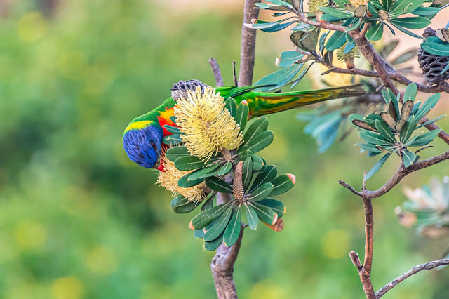 Rainbow Lorikeet looking for nectar and pollen in the yellow banksia flowers