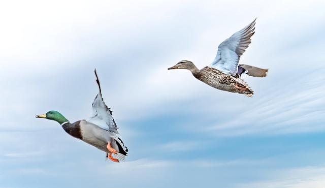 Companion Flight