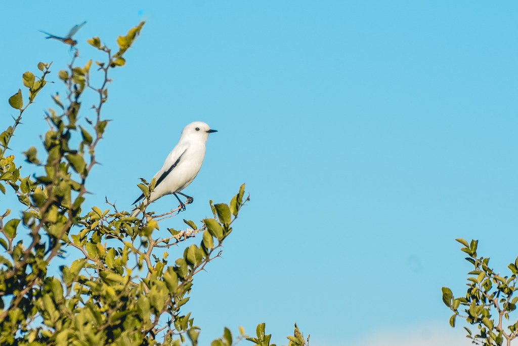 Blanca observadora (Monjita blnaca)