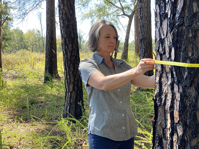 Heather Alexander measures the circumference of a tree.