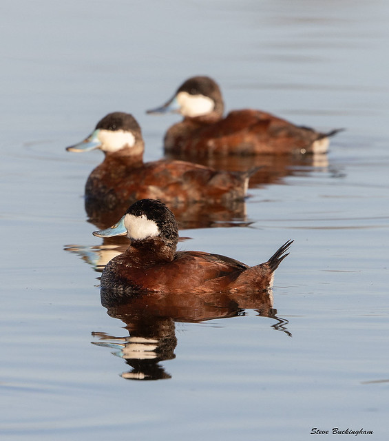 Ruddy Ducks in breeding plumage strutting their stuff.