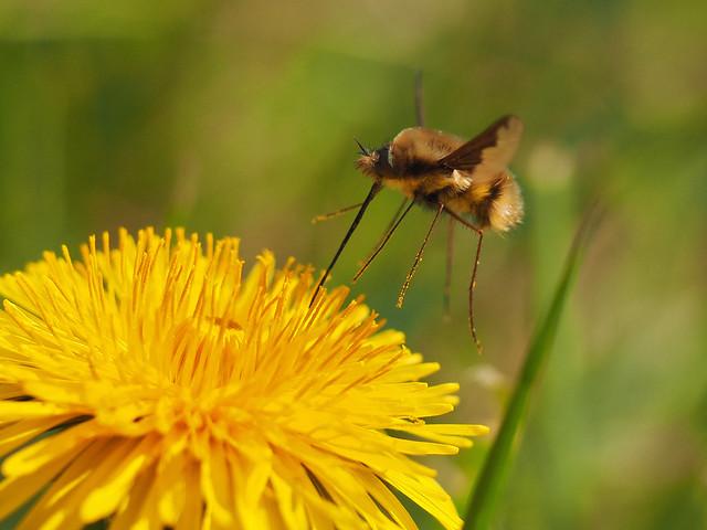 mid-flight bee-fly